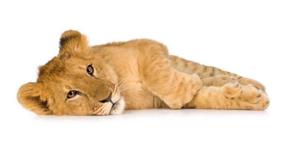 a lion cub lying down
