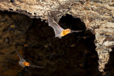 Persian trident bats (Triaenops persicus) flying in cave.